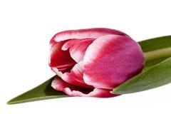 Enkel tulpan för rosa färgvårblomma som isoleras på vit bakgrund Royaltyfri Fotografi