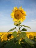 Enkel vertikal solros mot himlen och fältet Royaltyfria Bilder