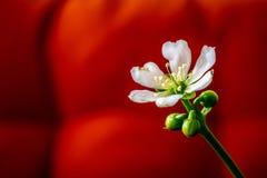 Enkel vit blomma mot en röd bakgrund royaltyfria bilder