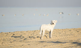 Enkel vit hund på den sandiga stranden för strand Royaltyfria Bilder
