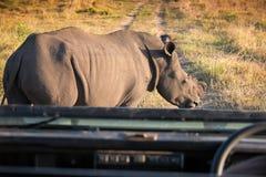 Enkel vit noshörning som blockerar en 4x4 på safari söderna - afrikanska bu Arkivfoto