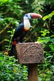 Enkel Vit-throated tucan) fågel för tukan ( Royaltyfri Bild