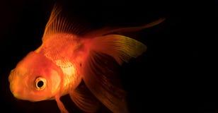 Enkel vuxen guldfisk med fenasimning i akvariet som isoleras på svart bakgrund Fiskflötet i vattenkolonnen arkivbilder