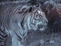 enkel vuxen tiger i profil på zoo i sommar som går på gräset i svartvitt royaltyfria foton