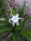 enkel white för blomma Royaltyfria Bilder