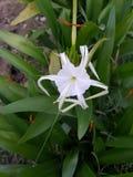 enkel white för blomma Fotografering för Bildbyråer