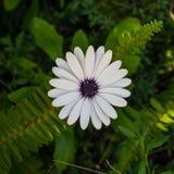 enkel white för tusensköna Royaltyfria Foton