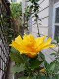 enkel yellow för blomma Arkivbilder