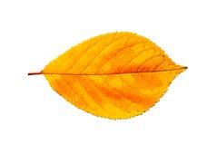 enkel yellow för leaf Royaltyfria Bilder
