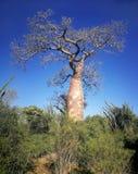 Enkelt baobabtr?d med mer gr?n tr?d och buskar omkring, klart m?rkt - bl? himmel i bakgrund arkivbilder