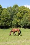 Enkelt beta för häst Fotografering för Bildbyråer