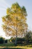 Enkelt björkträd i höst Fotografering för Bildbyråer
