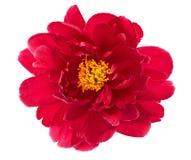 Enkelt blommahuvud av den röda pionen som isoleras på vit Arkivbild