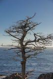 Enkelt cypressträd längs 17 mil drev Kalifornien Arkivfoto