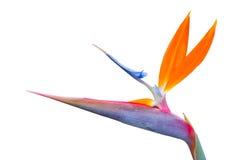 enkelt fågelblommaparadis Royaltyfri Bild