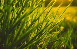 Enkelt gräs Arkivbild