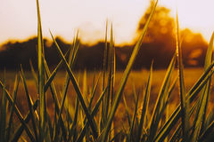 Enkelt gräs Arkivfoton