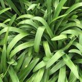 Enkelt gräs Royaltyfri Bild