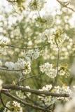 Enkelt härliga It's - körsbärsrött träd i blomning Arkivbild