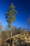enkelt högväxt sörjer arkivfoto