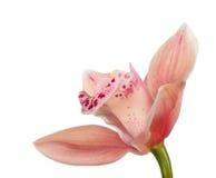 Enkelt ljus - orange blom av orkidén på vit Royaltyfri Bild