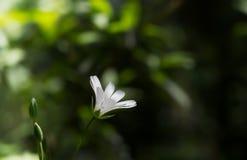 Enkelt mus-öra på grön bokeh Royaltyfri Bild