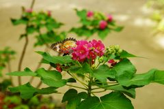 Enkelt orange Lacewingfjärilssammanträde på en klunga av rosa blommor Arkivbilder