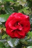 Enkelt rött blommahuvud på en ros i en trädgård Arkivfoto