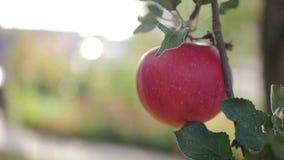 Enkelt rött sista äpple på trädfilial på höst arkivfilmer