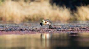 Enkelt Reed Cormorant lås en fisk ett damm som är klart att svälja royaltyfri fotografi