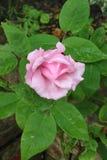 Enkelt rosa blommahuvud på en rosa färgros i en trädgård Arkivbild