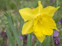 Enkelt slut upp den selektiva fokusen för gul påskliljablommapingstlilja, purpurfärgad blommabakgrund för oskarp mjuk bokeh royaltyfria bilder