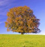 Enkelt stort bokträdträd på nedgången royaltyfri fotografi