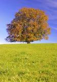 Enkelt stort bokträdträd på nedgången royaltyfri foto