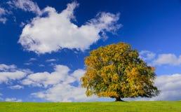 Enkelt stort bokträdträd på nedgången arkivbild