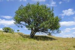 Enkelt träd för lös plommon i gläntan Royaltyfria Foton