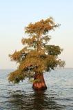 Enkelt träd för skallig cypress som växer i en grund sjö royaltyfria foton