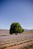 Enkelt träd i lavendelfält arkivbilder