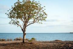 Enkelt träd med havsikt bakom fotografering för bildbyråer