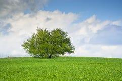 Enkelt träd på en äng för grönt gräs med blå himmel och moln royaltyfri foto