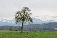 Enkelt träd på en kulle med det snöig berget Pilatus i bakgrund liggande switzerland royaltyfri foto