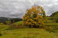Enkelt träd på hösten i den svarta skogen, Tyskland Arkivfoton