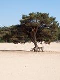 Enkelt träd på sanddyn Royaltyfri Bild