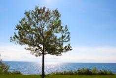 Enkelt träd vid Lake Ontario Royaltyfri Bild
