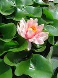 enkelt vatten för lilja Royaltyfri Bild