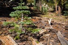 Enkelt vintergrönt barrträdträd Arkivbild