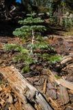 Enkelt vintergrönt barrträdträd Fotografering för Bildbyråer