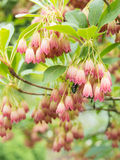 Enkianthus campanulatus Royalty Free Stock Photography