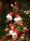 Enkianthus quinque florusLour 图库摄影