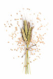 Enkir triticum monococcum. Triticum monococcum Einkorn ear grain on white background Stock Photos